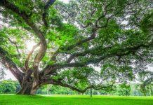 Atasi Polusi dengan pohon Trembesi
